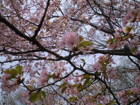 桜-2008a.jpg