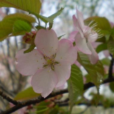 桜-2008b.jpg