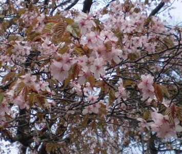 桜-2008d.jpg
